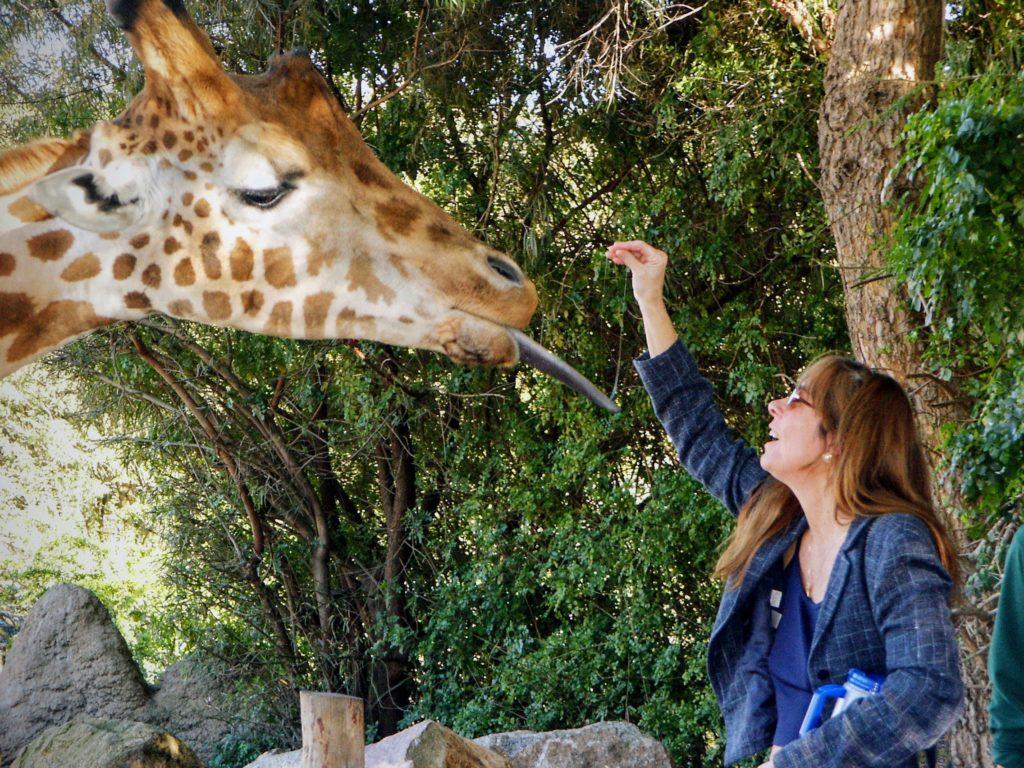 Polly Rodman (Tom Rodman's wife) feeding giraffe